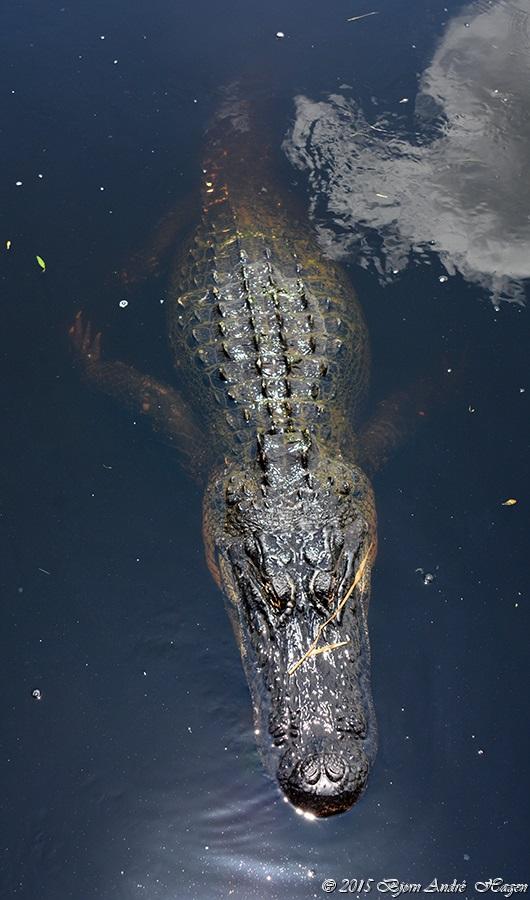 Aligator Myakka 2