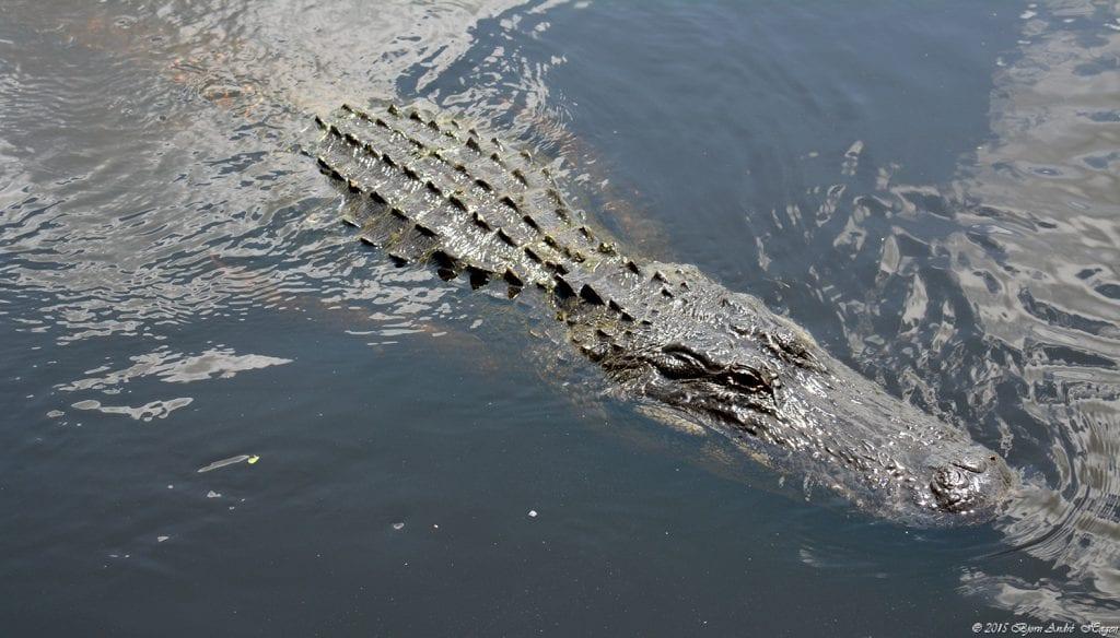 Aligator Myakka