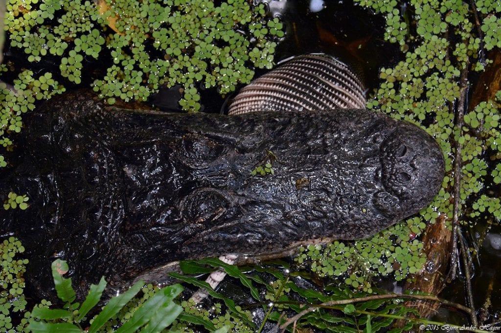 Aligator eating