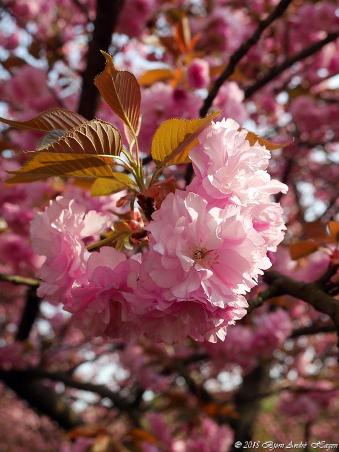 Cherry tree 2_S