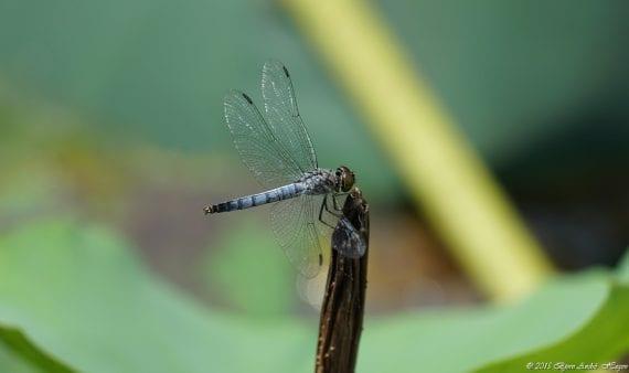 Dragonfly blue Nanjing