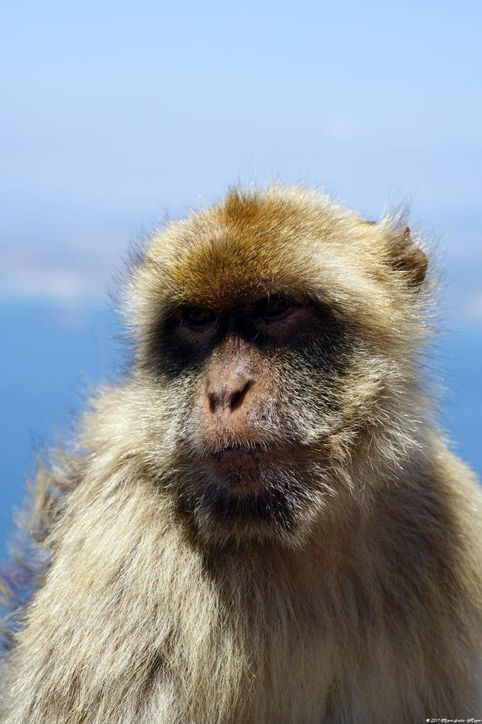 Gibraltar Monkey 10