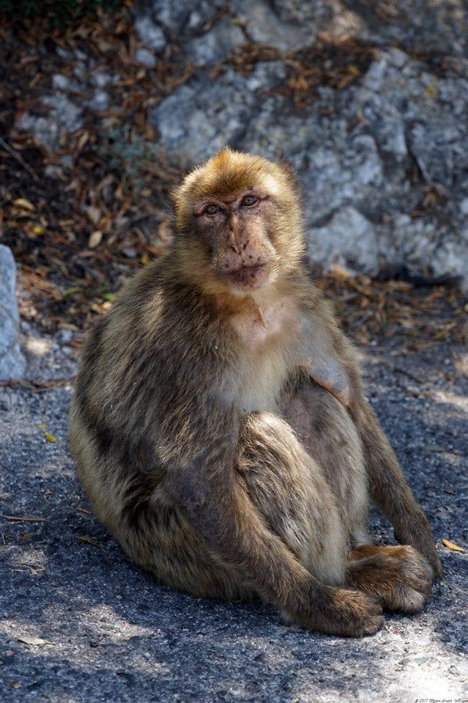 Gibraltar Monkey 11