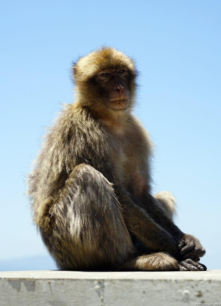 Gibraltar Monkey 12