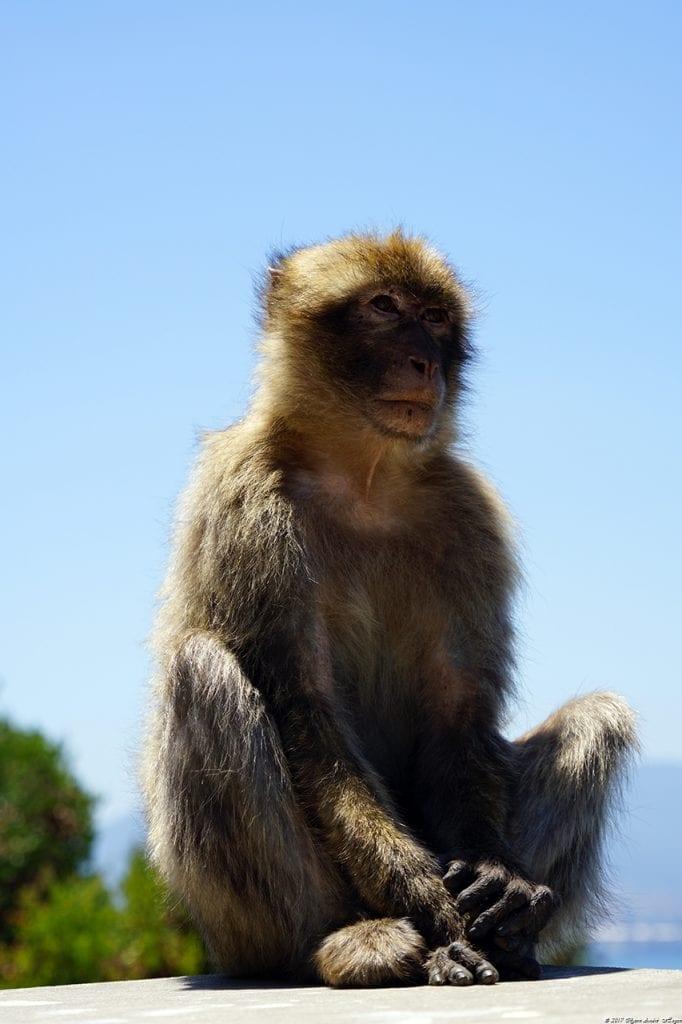 Gibraltar Monkey 13