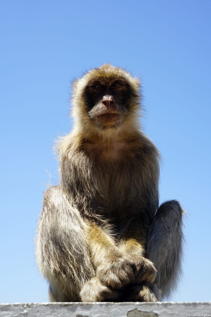 Gibraltar Monkey 14