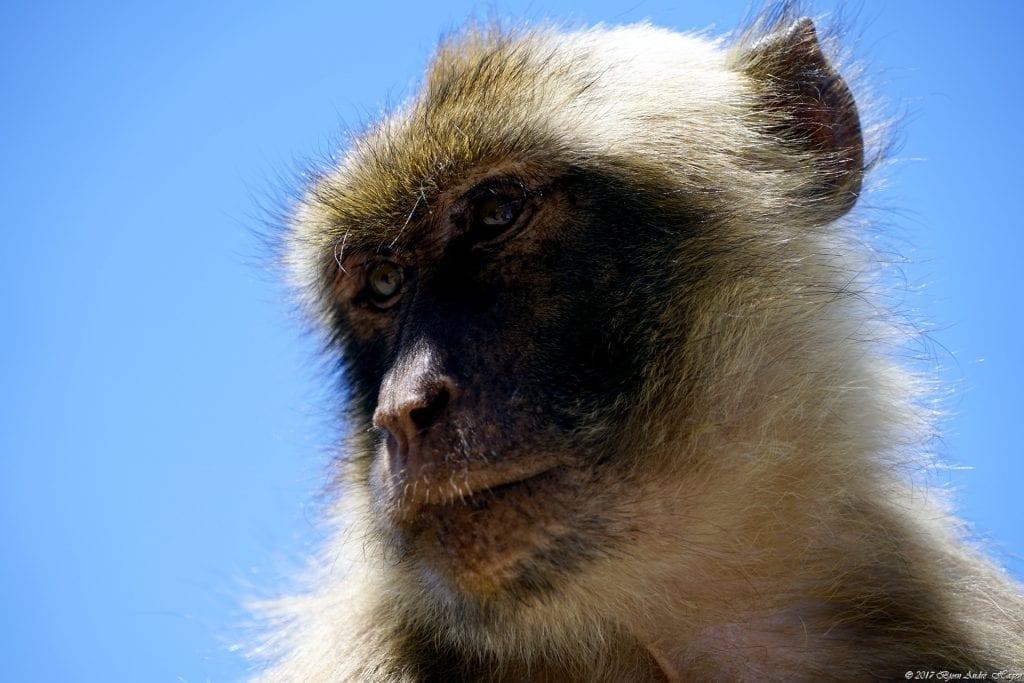 Gibraltar Monkey 15