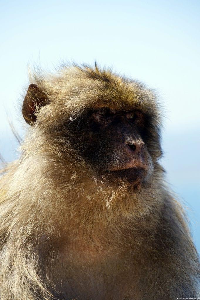 Gibraltar Monkey 16