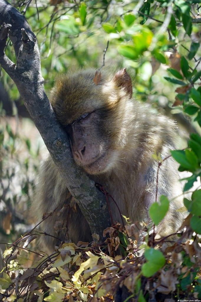Gibraltar Monkey 17