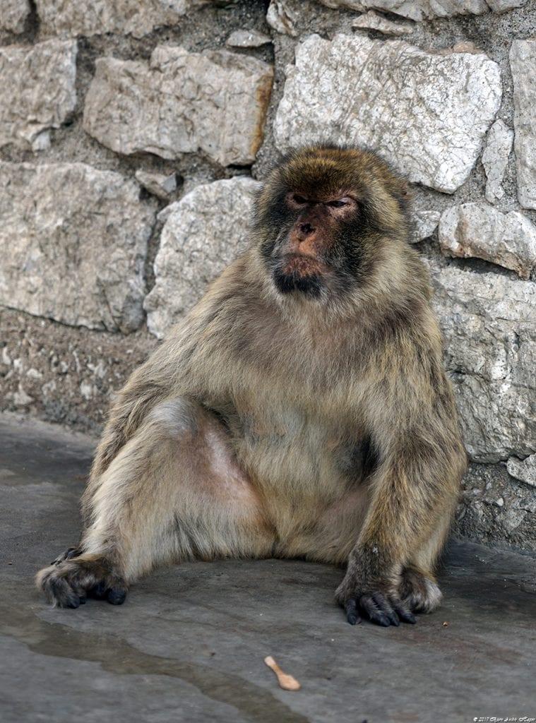 Gibraltar Monkey 4