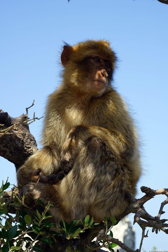 Gibraltar Monkey 5