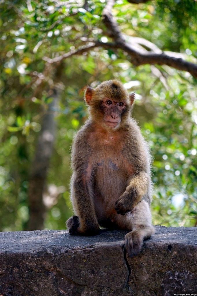 Gibraltar Monkey 6
