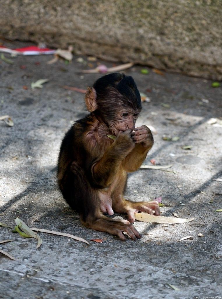 Gibraltar Monkey 7