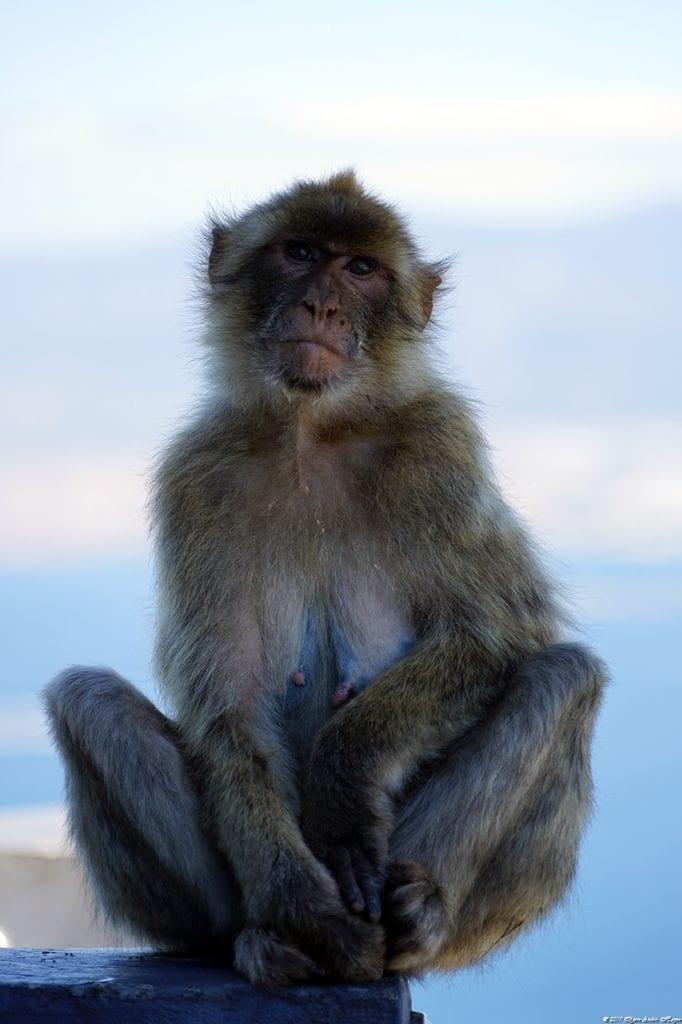 Gibraltar Monkey 8
