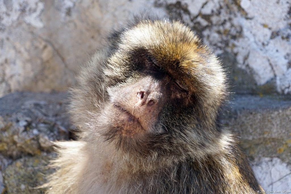 Gibraltar Monkey 9