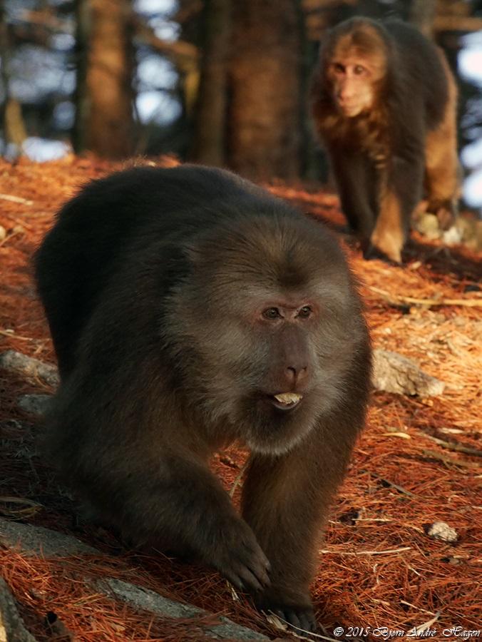Macaque 01