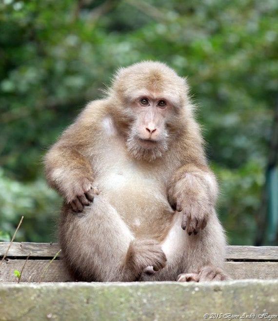 Macaque 04