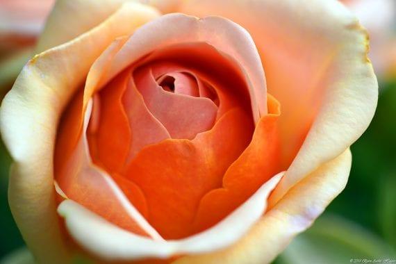Wien-Rose 2