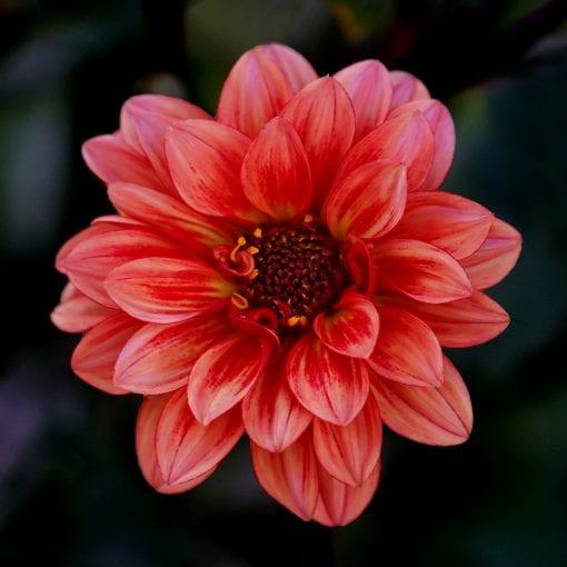 Florence flower