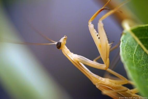 Brown Mantis Spain 2