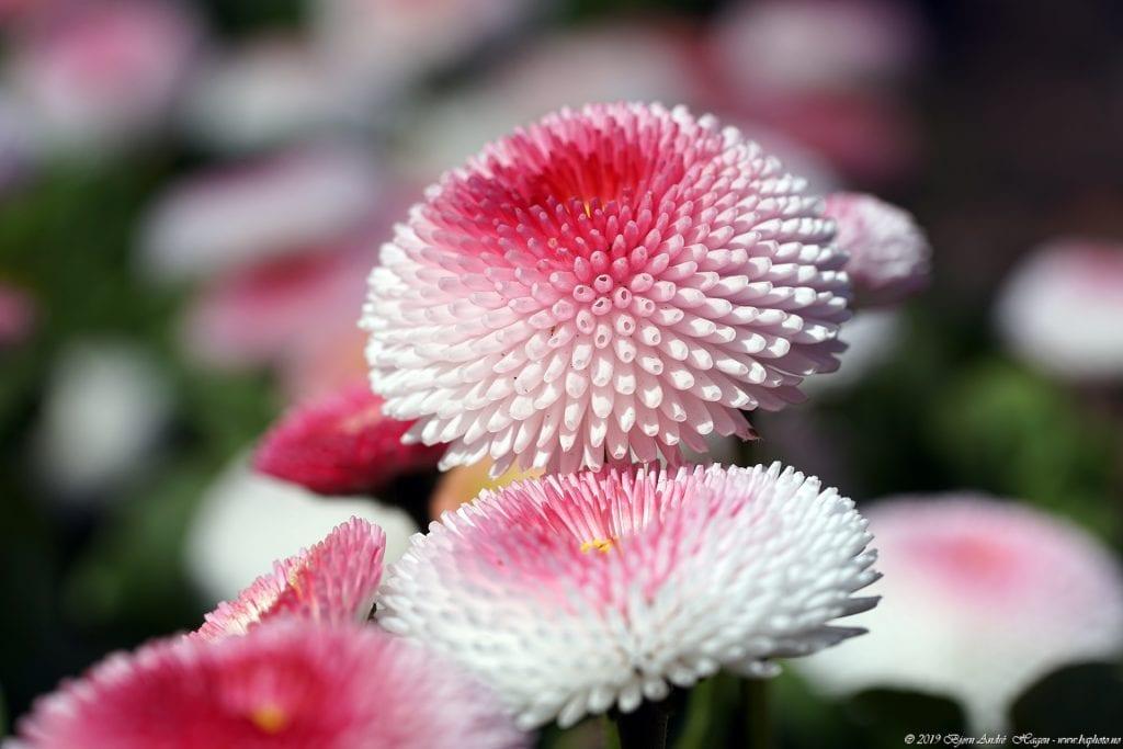 German Macro Flower