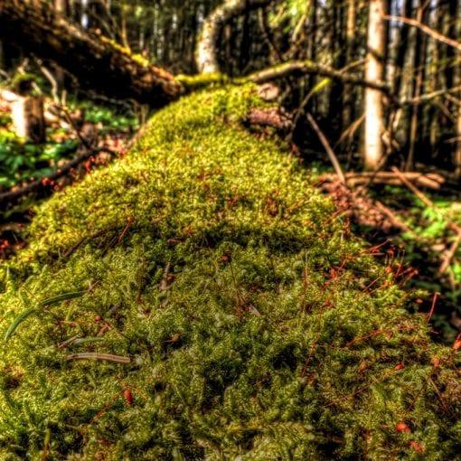 The moss tree