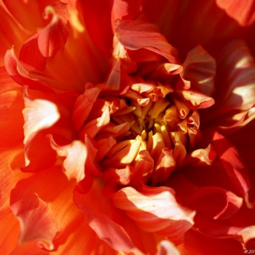 Flower closeup Oslo