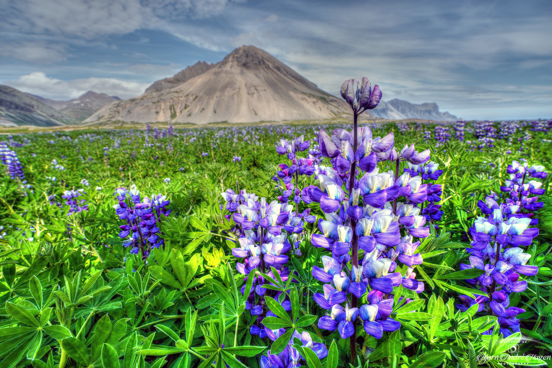 Flowers of south Iceland