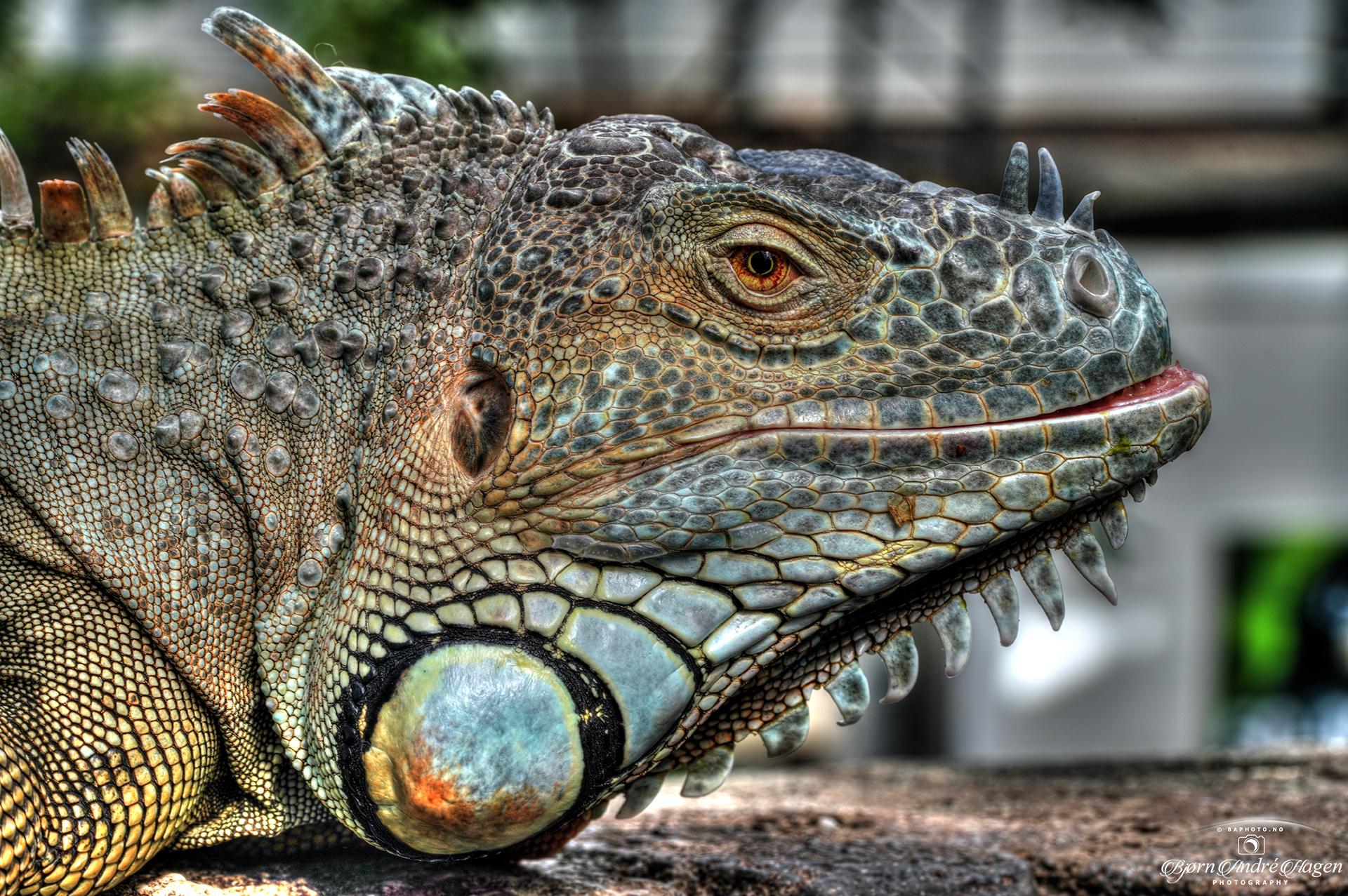 Iguana 2020