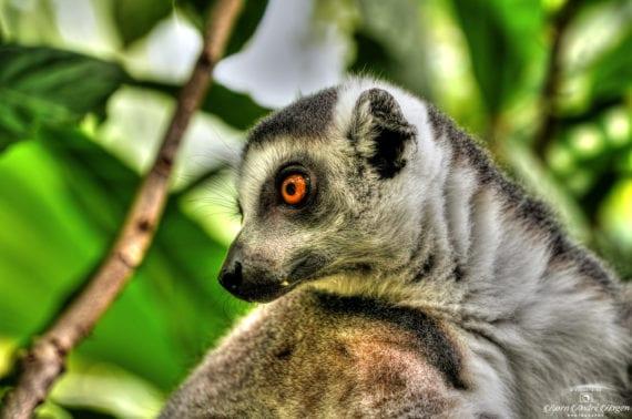 Lemur 08-2020
