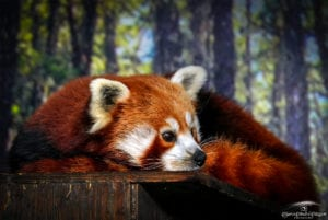 Red Panda Fall 2020
