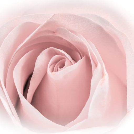 Soft Rose 1 2020