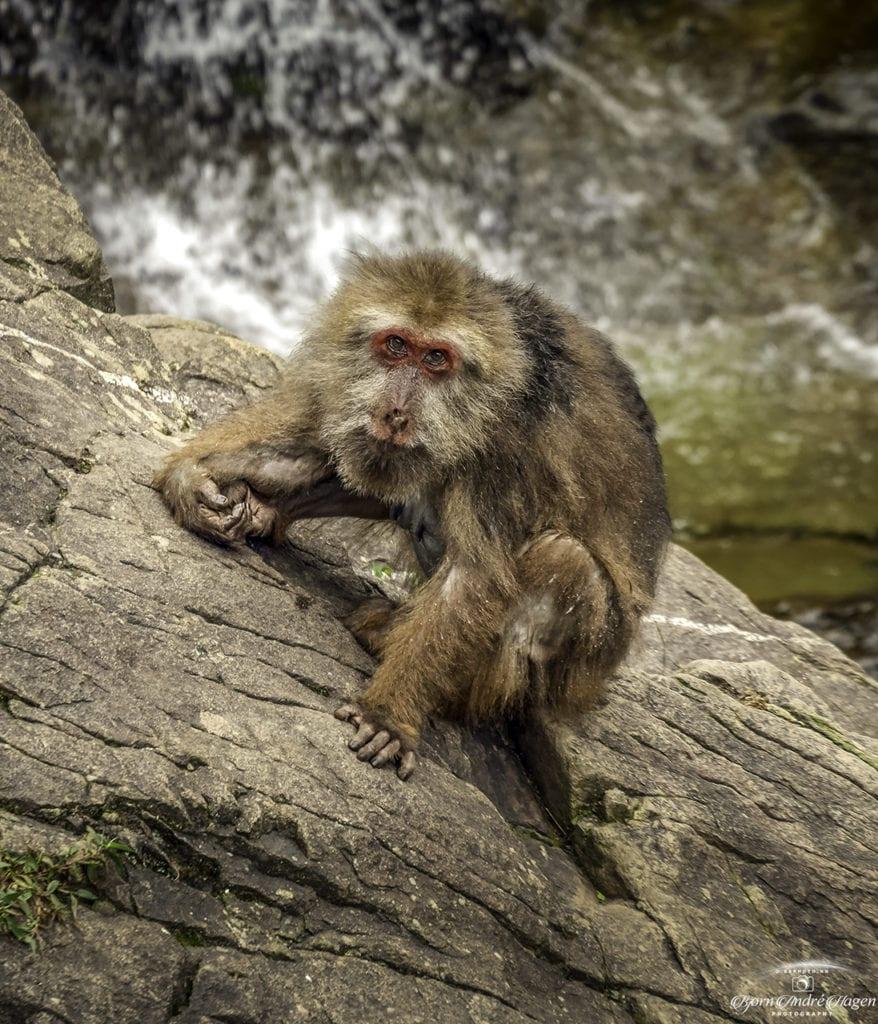 Macaque China