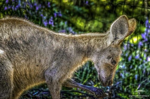 Rødhalset wallaby 08-2020