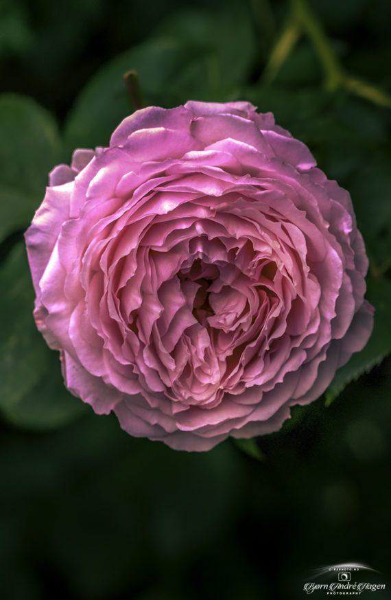 Molde Rose layers