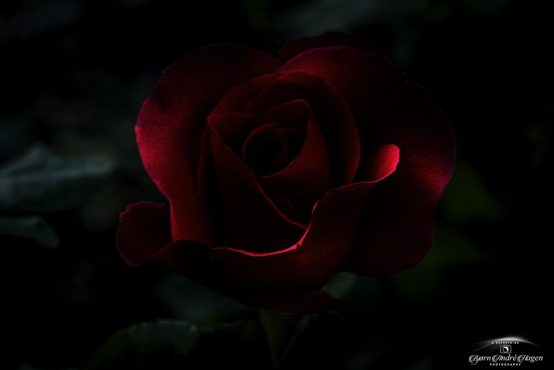 Molde Rose Low light